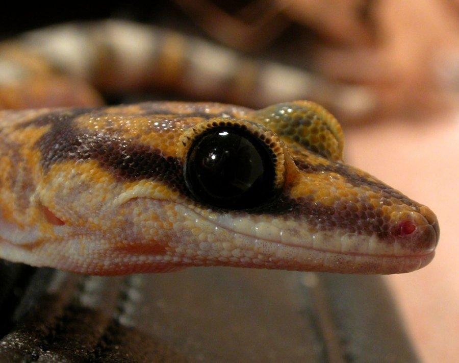 Marbled Velvet Gecko Central Australia